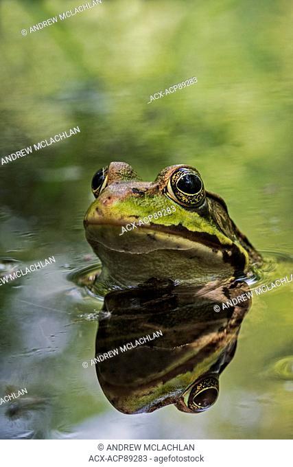Green Frog (Rana clamitans) and reflection at Tiny Marsh. Tiny Marsh Provincial Wildlife Area, Elmsdale, Ontario, Canada