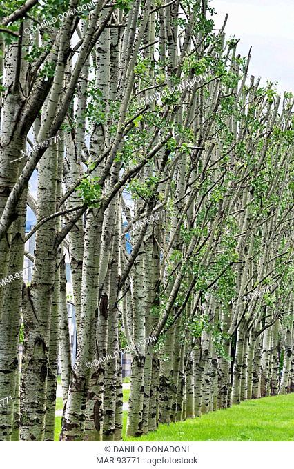 white poplars, alzano lombardo, italy