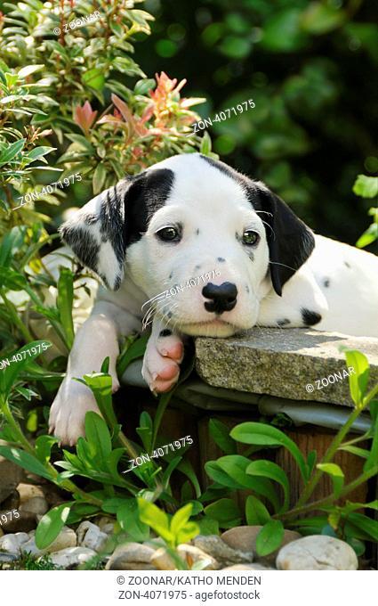 Dalmatinerwelpe, fuenf Wochen alt, im Garten / Dalmatian puppy, five weeks old, in a garden