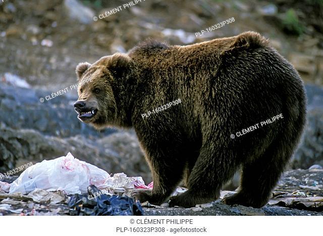 Aggressive Kodiak brown bear (Ursus arctos middendorffi) snarling with teeth bared and lips curled back at rubbish dump in Larsen Bay, Kodiak Island, Alaska
