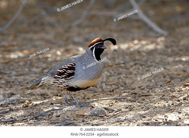Male Gambel's quail Callipepla gambelii, Sonny Bono Salton Sea National Wildlife Refuge, California, United States of America, North America