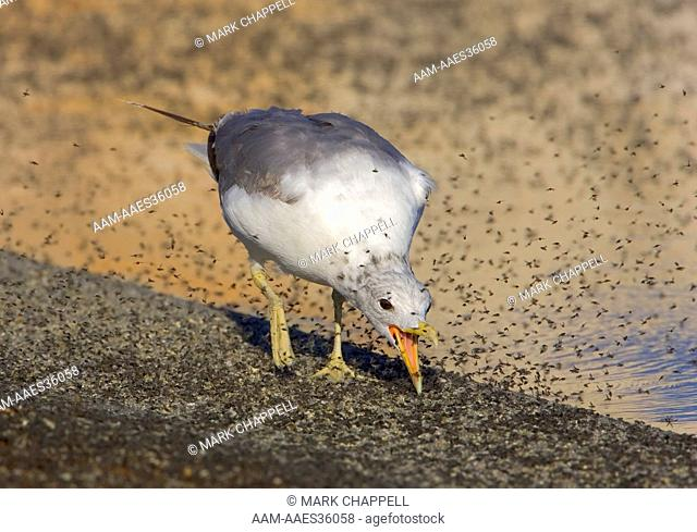 California gull (Larus californicus) eating brine flies or alkali flies (Ephydra hians) on the shore of Mono Lake, eastern California