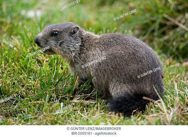 Alpine Marmot (Marmota marmota), Avers Valley, Aversertal, Grisons, Switzerland, Europe