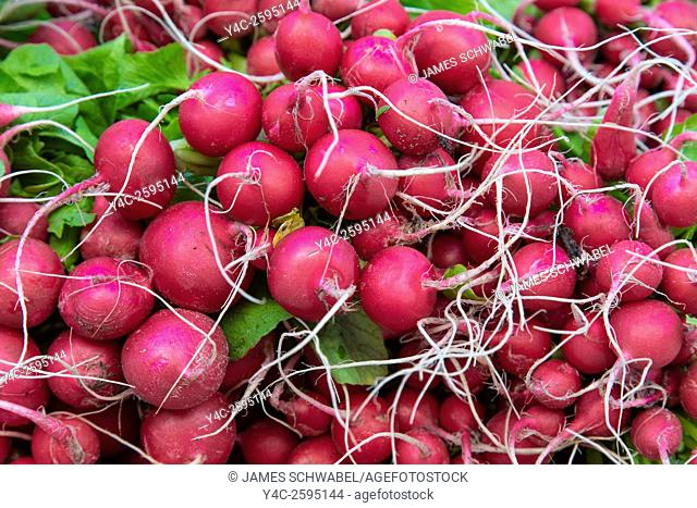 Fresh raw radish vegetables at Sarasota Farmers Market in Sarasota Florida