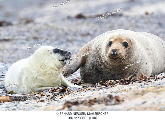 Grey seal, also Atlantic or horsehead seal (Halichoerus grypus) with pup, Heligoland, Schleswig-Holstein, Germany