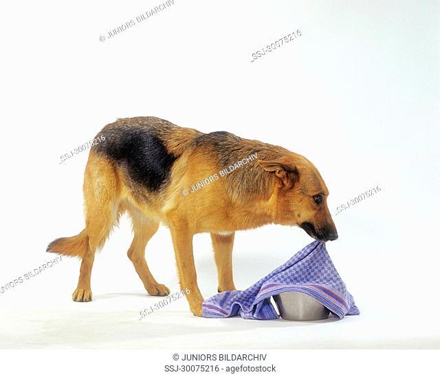 Deutscher Schäferhund : Intelligenztest 2
