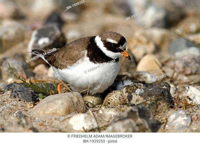 Ringed Plover (Charadrius hiaticula) sitting on its nest with two eggs and a hatched chick