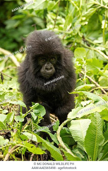 Mountain Gorilla (Gorilla gorilla beringei) Umubano Group, Volcanoes National Park, Rwanda, baby
