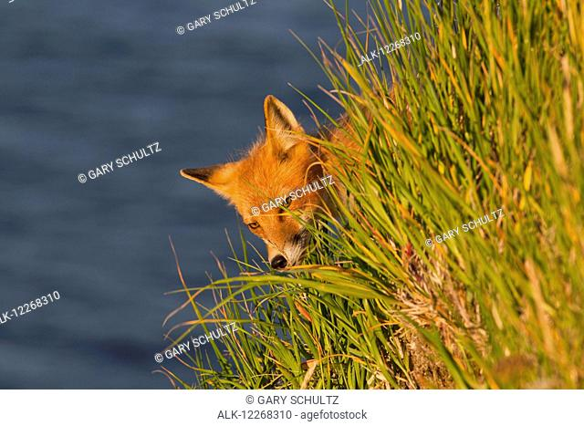Red fox (Vulpes vulpes) walking along top of cliff overlooking Bristol Bay, peering through grass, hunting puffins and other sea birds, in summer