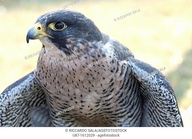 Peregrine Falcon, Falco Peregrinus, in Captivity