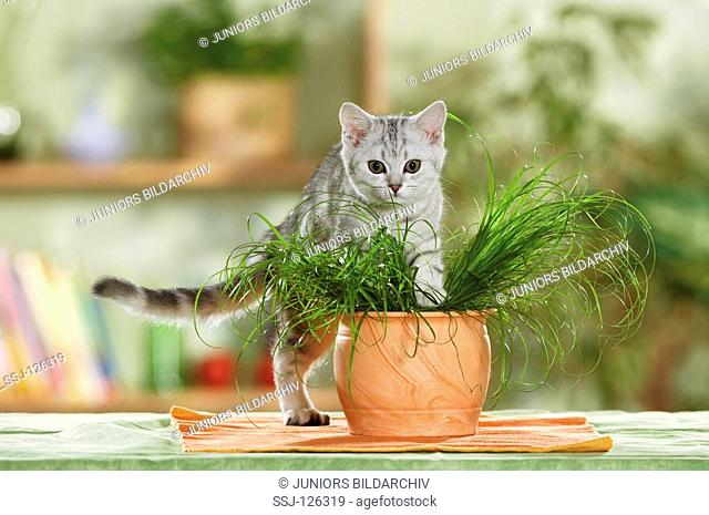 British Shorthair cat between cats' grass restrictions:Tierratgeber-Bücher / animal guidebooks