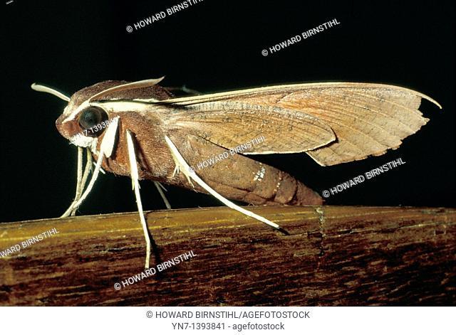 Close up view of a hawk moth Theretra latreillii