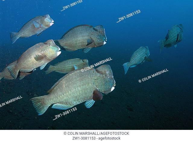 School of Bumphead Parrotfish (Bulbometopon muricatum, Scaridae family), USAT (US Army Transport) Liberty wreck dive site, Tulamben, east Bali, Indonesia