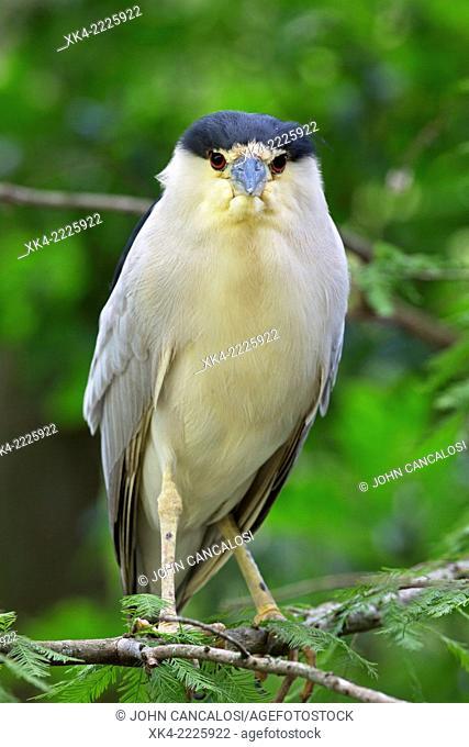 Black crowned night heron, Louisiana