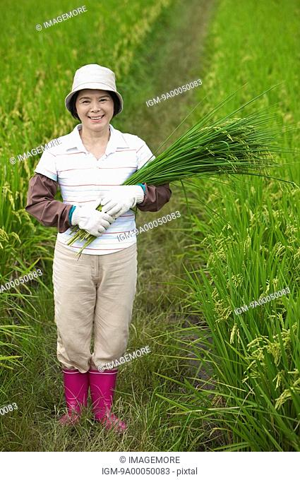 Mature farmer holding rice plants standing in rice field