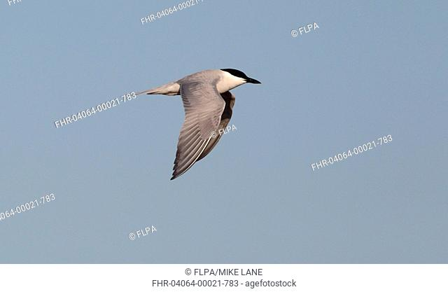 Gull-billed Tern Gelochelidon nilotica adult, breeding plumage, in flight, Eastern Spain, april