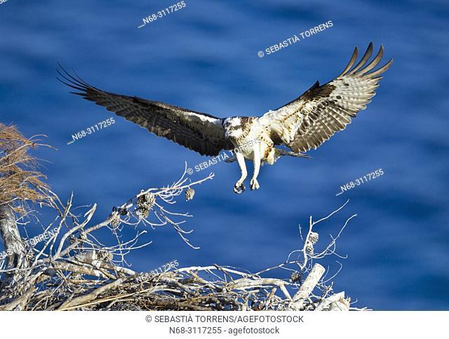 Osprey, Pandion haliaetus, landing on nest, coast of Andratx, Majorca, Balearic Islands, Spain