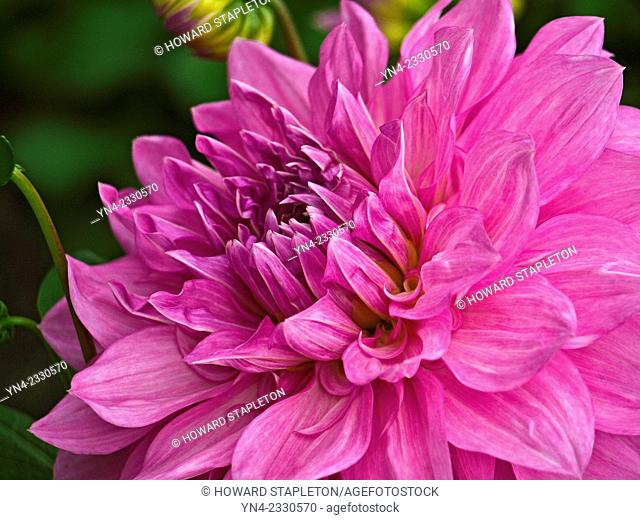 Purple, pink, dahlia flower. There are 42 species of dahlia, with hybrids commonly grown as garden plants