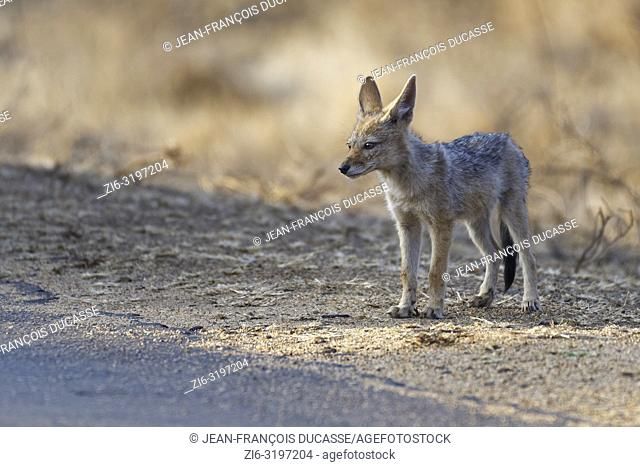 Black-backed jackal (Canis mesomelas), cub, on the edge of a tarred road, observing the surroundings, Kruger National Park, South Africa, Africa