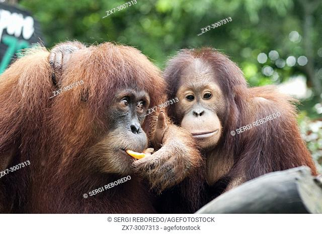 Singapore zoo, Orangutan (Pongo borneo), South East Asia, Singapore