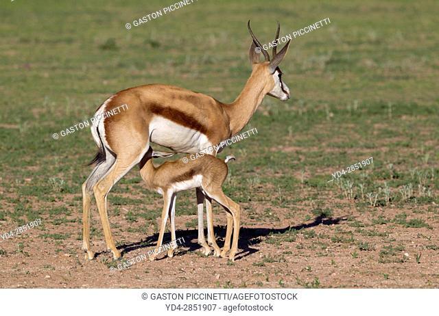 Springbok (Antidorcas marsupialis) - Mother and lamb, Kgalagadi Transfrontier Park in rainy season, Kalhari Desert, South Africa/Botswana