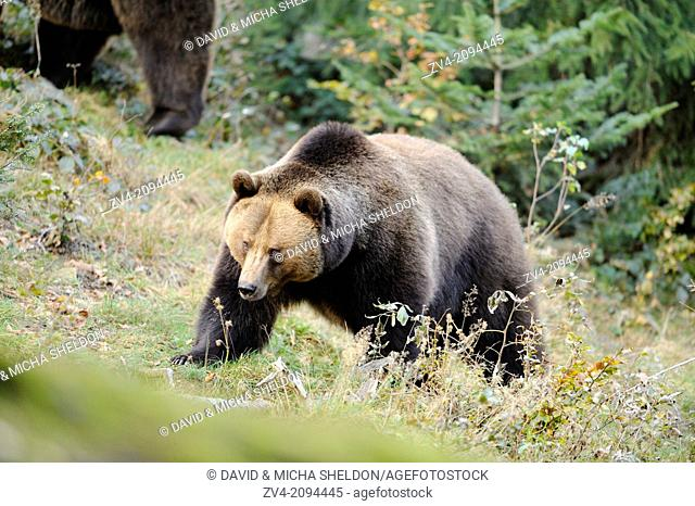 Cose-up of a Eurasian brown bear (Ursus arctos arctos) in the Bavarian Forest, Germany