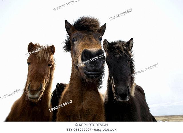 Curious Icelandic horses in spring