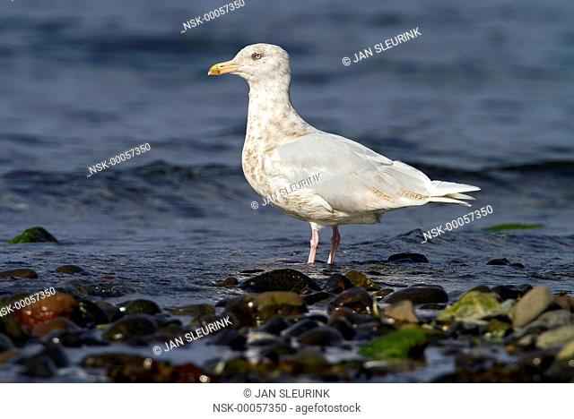 Glaucous Gull (Larus hyperboreus) at the coast, Snaefellsnes, Iceland, Iceland