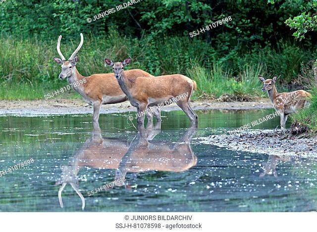 Red Deer (Cervus elaphus). Hind, brocket and calf in a forest pond. Germany