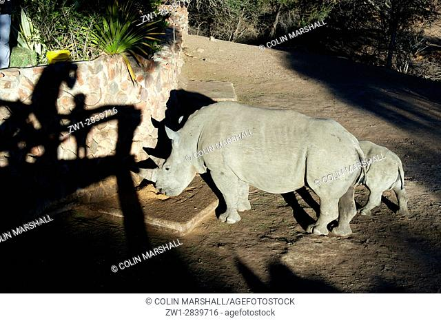 White Rhinocerous (Ceratotherium simum) with baby being fed with shadow of people, Ant's Nest Reserve, near Vaalwater, Limpopo province, South Africa