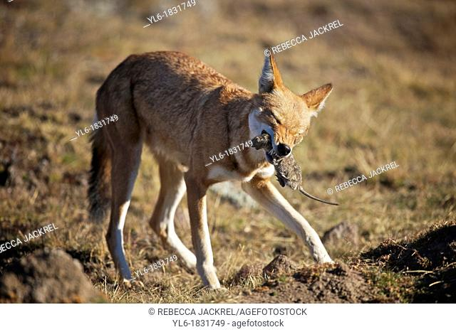 Ethiopian wolf killing a grass rat