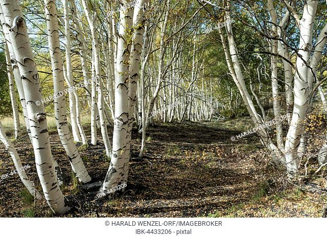 Endemic etna birch (Betula aetnensis) forest, lava fields from 1865, Monti Sartorius, northeast flank of Etna, Sicily volcano, Italy