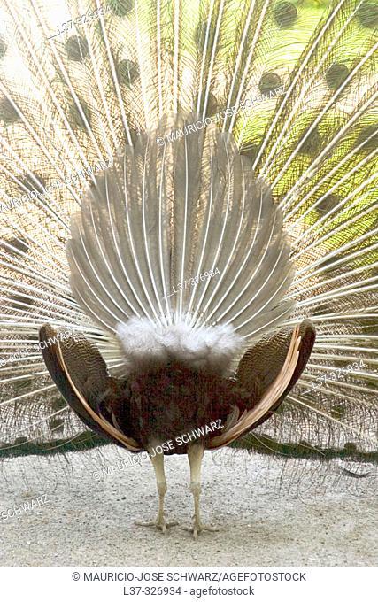 Peacock (Pavo cristatus)