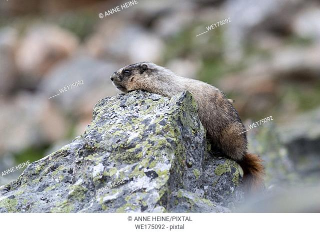 Wild marmot lying on rock in Rocky Mountains. Lake O`Hara area in Yoho National Park, British Columbia, Canada