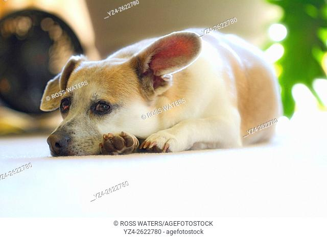 Closeup of a corgi and beagle mixed breed dog