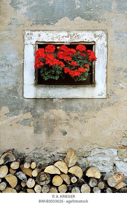 geranium (Pelargonium spec.), flower window, pod geraniums in a window of an old farm house, Germany, Saarland, Walsheim
