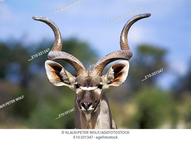Greater Kudu (Tragelaphus strepsiceros). Etosha National Park. Namibia