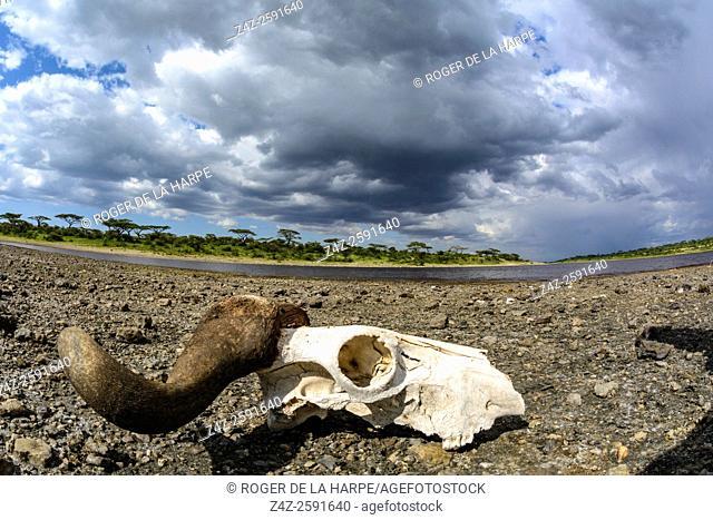 Blue wildebeest or common wildebeest, white-bearded wildebeest or brindled gnu (Connochaetes taurinus) skull at Lake Masek