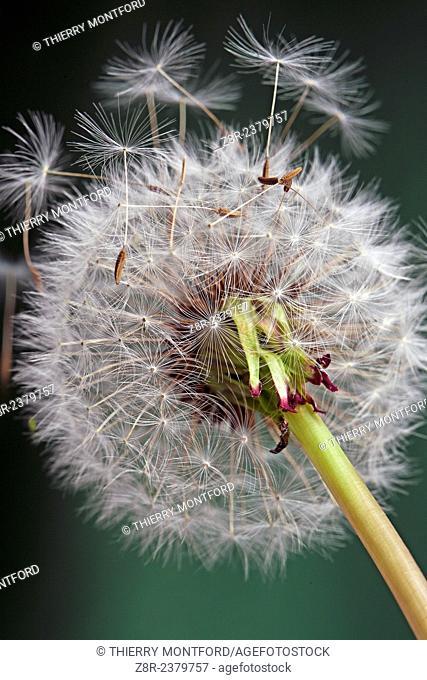 Common dandelion. France