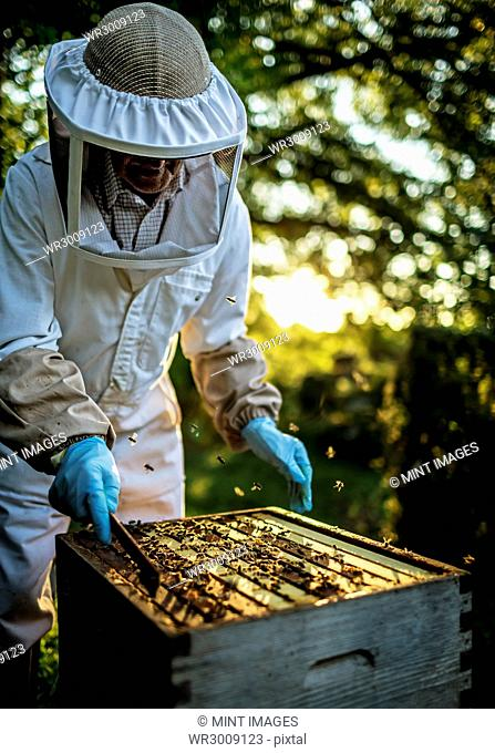 Beekeeper wearing a veil holding an inspection tray covered in bees
