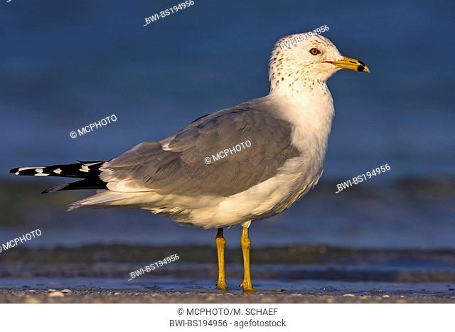 ring-billed gull (Larus delawarensis), stands in shallow water, USA, Florida