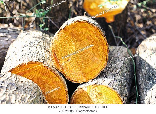 Wood logs cut in the forest