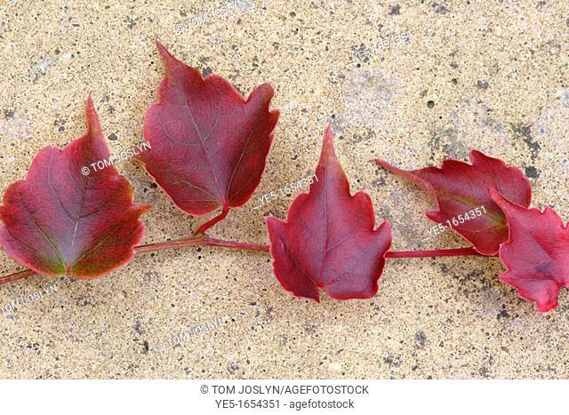 Japanese maple leaves Acer palmatum 'Bloodgood' close up, England, UK