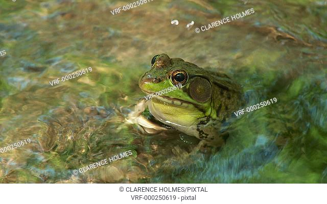 A male Northern Green Frog (Rana clamitans melanota) looks out over the surface of a shallow creek