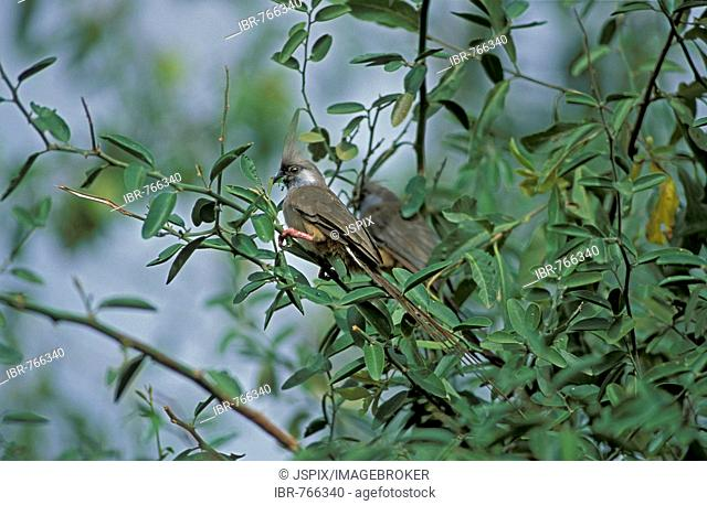 Speckled Mousebird (Colius striatus), Serengeti National Park, Tanzania, Africa