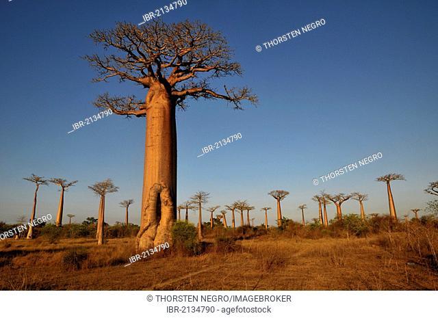 African Baobab tree (baobab), baobab-forest near Morondava on the west coast of Madagascar, Africa