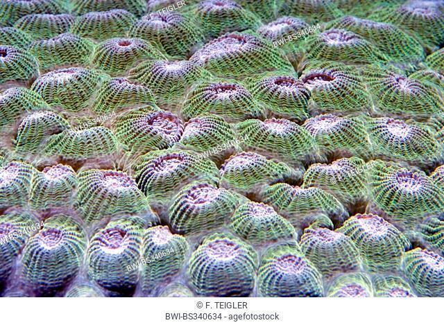 Stony Coral (Diploastrea heliopora), macro shot