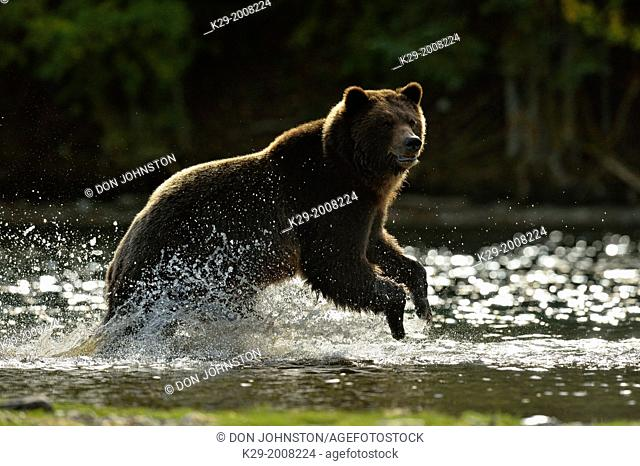 Grizzly bear (Ursus arctos)- Yearling year cub splashing in a salmon river during the autumn spawning season, Chilcotin Wilderness, BC Interior, Canada