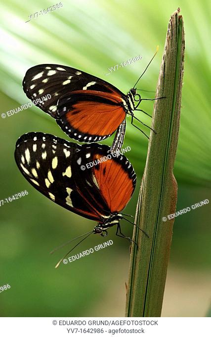 Mating of butterflies Heliconius hecale  Benalmadena Butterfly Park, Benalmadena, Malaga, Spain