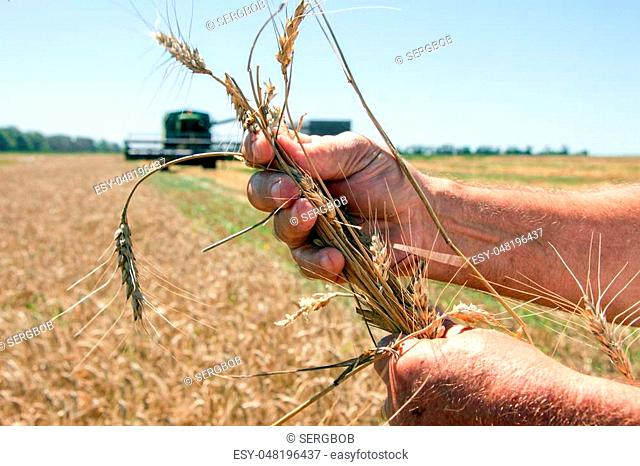 Hand holding the ripe wheat ear in sunny summer day, closeup